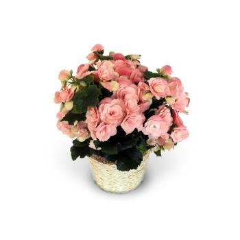 バラ咲きベゴニア新品種「ビノスソフトピンク」【母の日 アレンジメント 花 フラワーギフト プレゼント お祝い 誕生日 贈り物】の画像1枚目