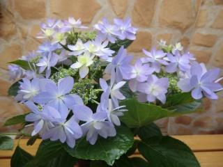 アジサイ鉢植え「ダンスパーティ」5号【花 フラワーギフト プレゼント お祝い 誕生日 贈り物】