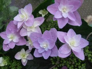 アジサイ鉢植え 凛花 5号【母の日 花 フラワーギフト プレゼント お祝い 誕生日 贈り物】
