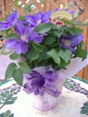 クレマチス鉢植え 紫 ヤング【母の日 花 フラワーギフト プレゼント お祝い 誕生日 贈り物】