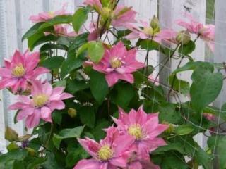 クレマチス鉢植え リトルマーメイド【母の日 花 フラワーギフト プレゼント お祝い 誕生日 贈り物】の画像1枚目