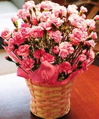 母の日カーネーション鉢植え ピンク5号カゴ入【母の日 花 フラワーギフト プレゼント お祝い 誕生日 贈り物】の画像1枚目