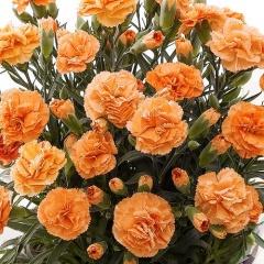 母の日カーネーション鉢植え オレンジ5号カゴ入【母の日 花 フラワーギフト プレゼント お祝い 誕生日 贈り物】【花・ガーデン・DIY > フラワー】記念日向けギフトの通販サイト「バースデープレス」