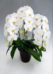 高級大輪胡蝶蘭 白3本立25輪前後【花 フラワーギフト プレゼント お祝い 誕生日 贈り物】