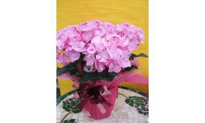 【母の日フラワーギフト】紫陽花鉢植え 舞姫5号