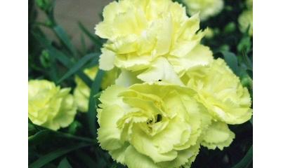 【母の日フラワーギフト】カーネーション鉢植え レモンソフト 5号 カゴ付