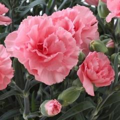 【母の日フラワーギフト】カーネーション鉢植え ディアママピンク 5号 カゴ付