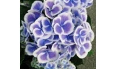【母の日フラワーギフト】紫陽花鉢植え ブルー ババリア5号