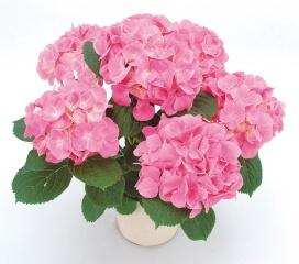 【母の日フラワーギフト】紫陽花鉢植え ピーチ姫5号 カゴ付