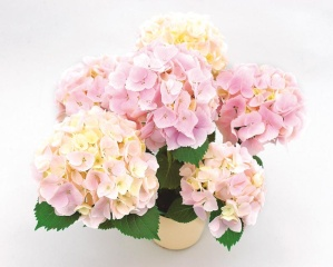 【母の日フラワーギフト】紫陽花鉢植え ジューンブライド5号