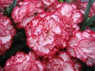 母の日フラワーギフト カーネーション鉢植え キャミ5号 カゴ付