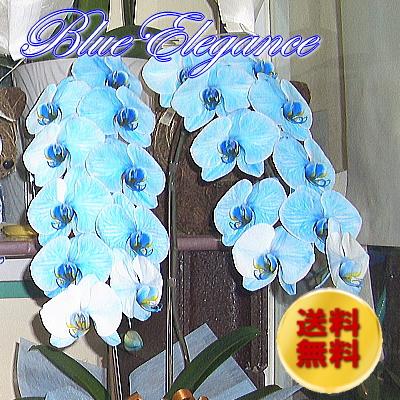 コチョウラン(ブルー)【花 フラワーギフト プレゼント お祝い 誕生日 贈り物】