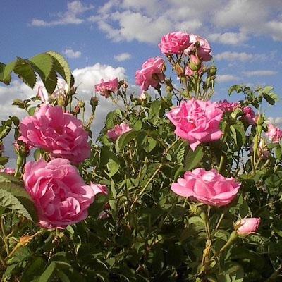 ROSENSEダマスクローズウォーター【美容 自然 癒し トルコ 誕生日 バースデー ギフト 贈り物 プレゼント お祝い】の画像2枚目