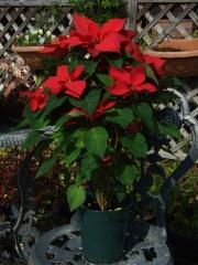 真っ赤なポインセチア(5寸鉢)【花 花束 アレンジメント クリスマス プレゼント 贈り物 ギフト お祝い】【花・ガーデン・DIY > フラワー】記念日向けギフトの通販サイト「バースデープレス」