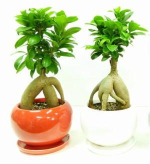 ガジュマル(多幸の木)陶器鉢仕立て 高さ約25cm〜35cm