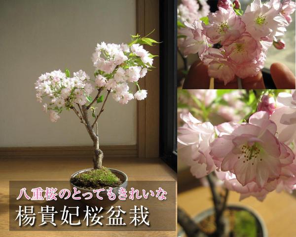 楊貴妃桜盆栽【花・ガーデン・DIY > フラワー】記念日向けギフトの通販サイト「バースデープレス」