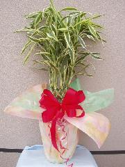 縁起物 ミリオンバンブー 萬年竹::3393【花・ガーデン・DIY > フラワー】記念日向けギフトの通販サイト「バースデープレス」