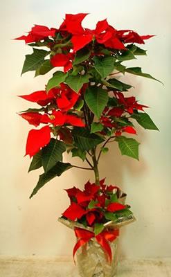 """ポインセチアの鉢植えを贈る! """"イチバン"""" ツリー仕立て 鮮やかな赤いポインセチアを贈る!!【フラワーギフト 花 贈り物】の画像1枚目"""