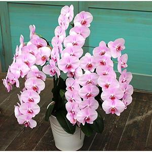 ピンク胡蝶蘭 5本立ち(特別価格)