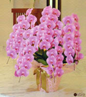 胡蝶蘭 大輪 5本立ち 55輪以上 ピンク