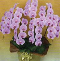 胡蝶蘭 大輪 7本立ち 63輪以上 ピンク