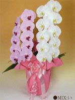 胡蝶蘭 大輪 2本立ち 18輪以上 白1+ピンク1