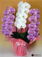 胡蝶蘭 大輪 3本立ち 27輪以上 白1+ピンク2