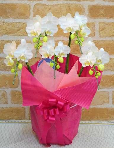 【送料無料】白胡蝶蘭・お祝いラッピング(鉢物)【花 フラワーギフト フラワー 誕生日】