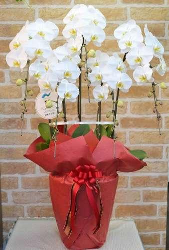 【送料無料】特選 胡蝶蘭・お祝いラッピング(鉢物)【花 フラワーギフト フラワー 誕生日】