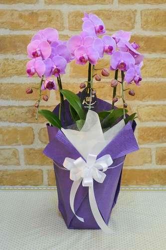 【送料無料】ピンク胡蝶蘭・お供ラッピング(鉢物)【花 フラワーギフト  フラワー 誕生日】