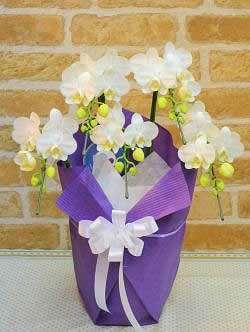 【送料無料】白胡蝶蘭・お供ラッピング(鉢物)【花 フラワーギフト フラワー 誕生日】