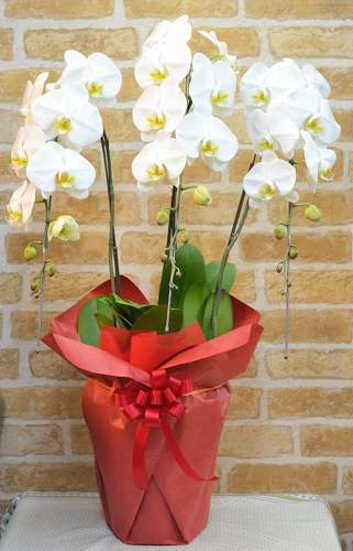 【送料無料】白胡蝶蘭・お祝いラッピング(鉢物)【花 フラワーギフト フラワー 誕生日】の画像1枚目
