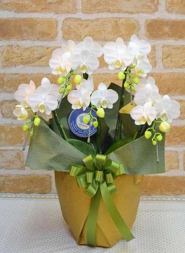 【送料無料】白胡蝶蘭・和風ラッピング(鉢物)【花 フラワーギフト フラワー 誕生日】