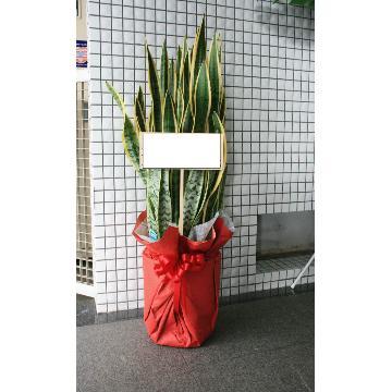 観葉植物 トラノオ(サンスベリア)の画像1枚目