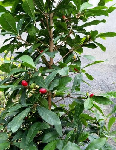 ミラクルフルーツ 陶器鉢入り【誕生日 贈り物 プレゼント 植物 果実】の画像1枚目