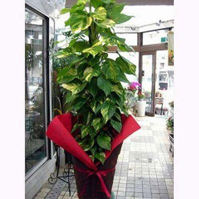 プラント012【お花 贈答 フラワーギフト 観葉植物 敬老の日】