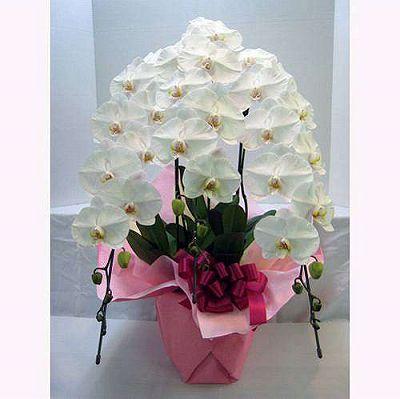 白の胡蝶蘭3本立ち