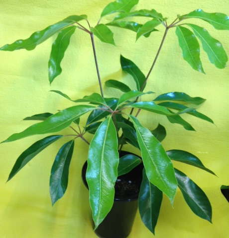 ツピタンサス(観葉植物)【誕生日 記念日 贈答 アレンジメント 花 バースデー】の画像1枚目