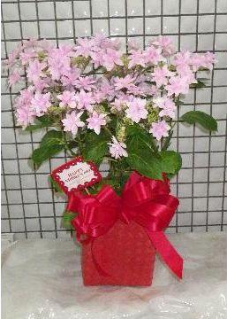 あじさい鉢花「ダンスパーティ」♪かわいさとエンガントさを兼ね備えた人気商品!【母の日】【花 フラワーギフト フラワー】の画像1枚目