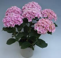 【母の日】ジャパンフラワーセレクション受賞フェアリーアイの姉妹花「ファアリーキッス」♪カワイイ手まり咲き【母の日】【花 フラワーギフト フラワー】の画像1枚目