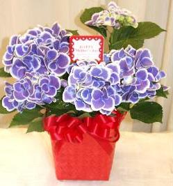 あじさい「チボリ」のブルー! 花びらが白く縁どられたかわいらしい人気の品種!の画像1枚目