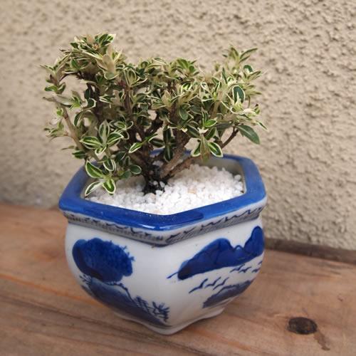 【父の日 ギフト】ミニ盆栽【記念日 誕生日 お祝い 盆栽 バースデー 敬老の日】