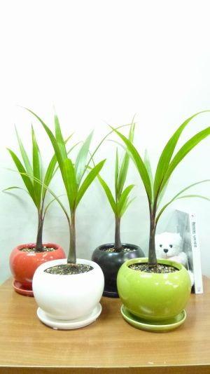 トックリヤシ ミニ 4色から選べる陶器鉢