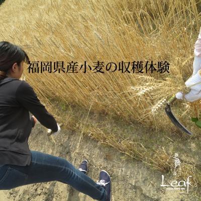 八女抹茶シフォンフロマージュ 11cm (1123)の画像3枚目