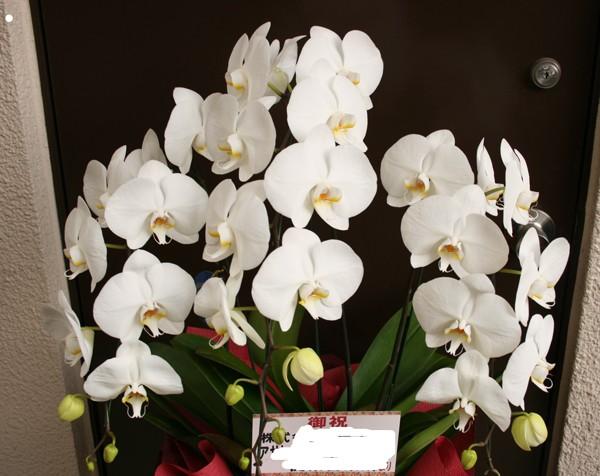 さりげなく贈れるミニ胡蝶蘭