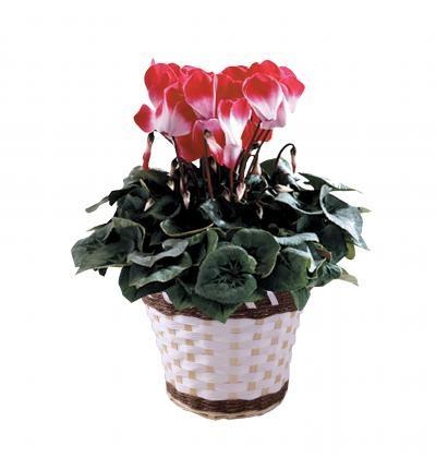 シクラメン鉢植「プルマージュ」 【花 フラワーギフト プレゼント お祝い 誕生日 贈り物】