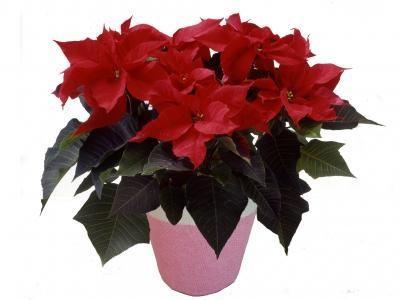 ポインセチア鉢植「赤」 【花 フラワーギフト プレゼント お祝い 誕生日 贈り物】