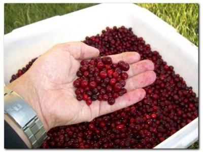 採れたて冷凍果実  ビルベリー&リンゴンベリー6袋セットの画像5枚目